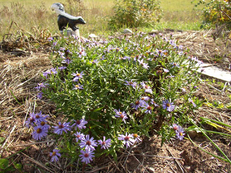 Some late autumn asters.