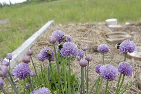 Chives 'n' bees.