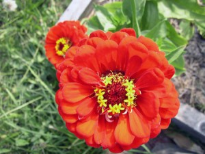 That right there is a big zinnia.